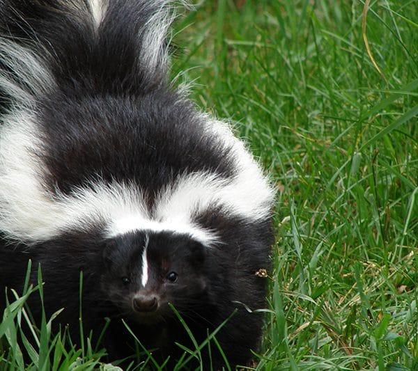 Skunks in my backyard